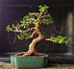 tips for trimming elephant bush into a bonsai