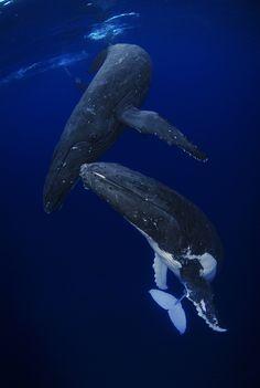 humpback whales | marine animal + underwater photography
