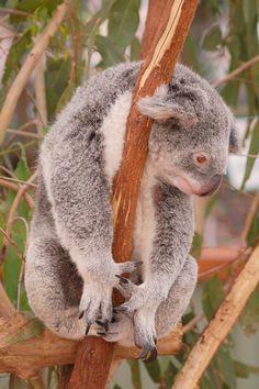Autralia - koala - 2007