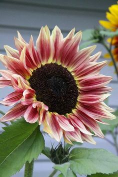 Pink Yellow Sunflower