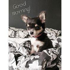"""""""Aamu alkaa aina sillä, että Nappi tahtoo tulla moikkaamaan sänkyyn = Juoksee ja pomppii sekopäisenä sänkyä ympäri ja minun päälläni kunnes varmasti ollaan hereillä...eli kivat tiistai aamut vain kaikille  #puppy#chihuahua#chihu#morning#cute#adorable"""" Photo taken by @teamfitjohanna on Instagram, pinned via the InstaPin iOS App! http://www.instapinapp.com (07/21/2015)"""