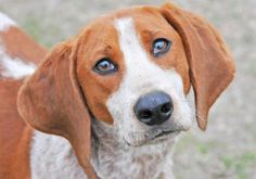 The Davinci Foundation for Animals RESCUE ACROSS THE NATION:FL Meet SYNC, a 2 years Hound / Mix available for adoption in FERNANDINA BEACH, FL