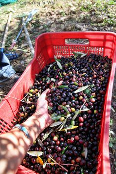 Extra Virgin Olive Oil: From Tree to Table, Part One – Harvesting
