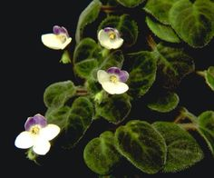 This Vintage Violet, has a name if you know it please feel free to    Add it.