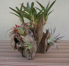 Driftwood Centerpiece, Driftwood Planters, Tropical Centerpieces, Tropical Garden, Succulents Garden, Deco, Garden Projects, Orchids, Birthday