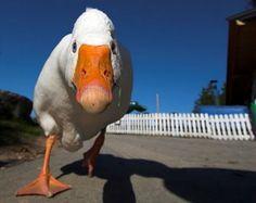 duck duck...goose?