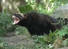 The largest member of the weasel family, the wolverine, displays his formidable teeth!