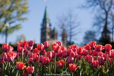 Ottawa Canada, Tulip Festival, Walk In My Shoes, Festivals, Walking, Things To Come, Tours, Events, Culture