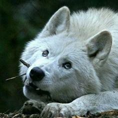 Beautiful Arctic wolf <3