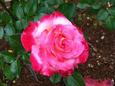 "Beautiful ""Dick Clark"" Rose in my Garden, may he Rest in Peace."