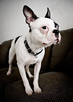 Boston Terrier - This looks like my Bo grown up