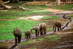 Elephants at Dzanga Sangha-a clearing in Central African Republic where you can sit at a distance and watch elephants play in the mud and water.