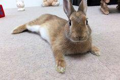 Ichigo san 483 いちごさんうさぎ rabbit bunny netherlanddwarf brown ネザーランドドワーフ ペット いちご うさぎ