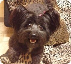 Los Angeles, CA - Yorkie, Yorkshire Terrier/Maltese Mix. Meet DIOR a Dog for Adoption.