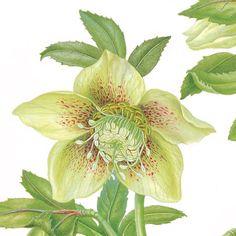 Helleborus orientalis (Cream) by Georita Harriott