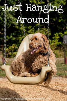 Spencer the Goldendoodle: Wordless Wednesday: Just Hanging Around