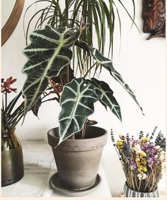 Excited to share this item from my shop: African Mask Plant, Poly African, Alocasia Plant, Live House Plant Alocasia Polly African Plant, rare houseplants trendy plants