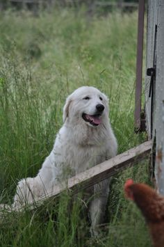 Very much like our rescue Holly.....Bea the Maremma Sheepdog that guards the chicken wagon