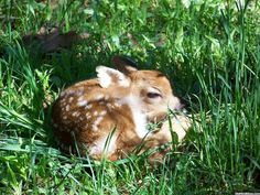 Fawns be nappin