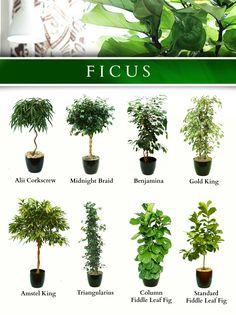 several popular Ficus Indoor Garden, Garden Plants, Inside Plants, Paludarium, Deco Floral, Bedroom Plants, Interior Plants, Exotic Plants, Tropical Garden