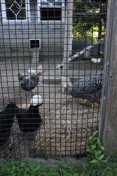 """""""Not in My Backyard, or Yours"""": Some great """"Truths"""" about backyard chickens from Tilly's Nest."""