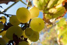 Federweißer - was ist das eigentlich?   Weinblog Bottled Grapes Vin France, Cluster Feeding, Leafhopper, Low Angle Shot, Grape Trellis, Japanese Beetles, Insect Pest, Fruit Plants, Dordogne