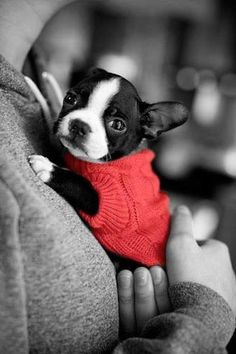 little red puppy sweater