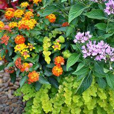 Lantana Pentas Combination Great for a Butterfly Container garden