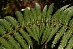 Gleicheniaceae: Diplopterygium bancroftii
