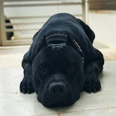 Black Pitbull Puppies, Pitbull Dog Puppy, Bully Dog, All Black Pitbull, Big Pitbull, Pitbull Terrier, Amstaff Terrier, Cute Pitbulls, Puppy Pitbulls
