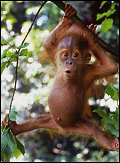 I don't have a bucket list. But if I did, holding a baby-orangutan would be in my top #5.  <3