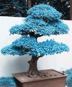 Blue Maple Bonsai Tree Seeds Cultivate an atmosphere of serenity in your humble abode by planting your very own blue maple bonsai tree. The seeds of this beautiful and rare bonsai are relatively easy. Flowering Bonsai Tree, Bonsai Tree Types, Indoor Bonsai Tree, Bonsai Plants, Balcony Plants, House Plants, Maple Tree Seeds, Maple Bonsai, Juniper Bonsai