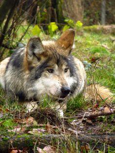 Gray Wolf--Wolf Haven International Photo