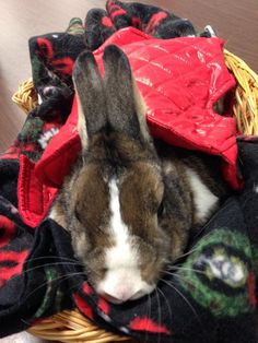 Cricket on a visit to Easter Seals as a Therapy Rabbit. She has on her new puffy jacket and has her Christmas blankie.
