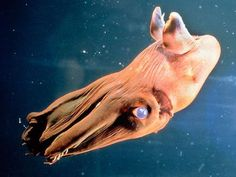 """The vampire squid (Vampyroteuthis infernalis, lit. """"vampire squid from Hell"""") is a small, deep-sea cephalopod found throughout the temperate and tropical oceans of the world. Unique retractile sensory filaments justify the vampire squid's placement in its own order:Vampyromorphida (formerly Vampyromorpha), which shares similarities with both squid and octopuses."""