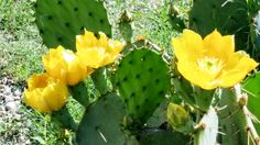 Cactus in the Spring -  Photo by Linda Reyes