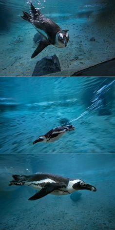 African penguin swim lessons at the San Diego Zoo.