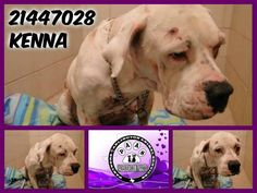 KENNA was brought INTO the SHELTER WITH MULTIPLE WOUNDS & LACERATIONS. She has had a hard, hard life so far & NEEDS a LOVING, CARING, PATIENT, GENTLE FAMILY TO ADOPT: PLEASE VISIT HER at Arlington Animal Services, 1000 SE Green Oaks, Arlington, Texas 76018 RR5 ID #21447028 DONATE HERE: http://www.youcaring.com/nonprofits/kenna-21447028-11-10/104936