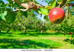 Apple Orchard Stock Photos, Images, & Pictures | Shutterstock