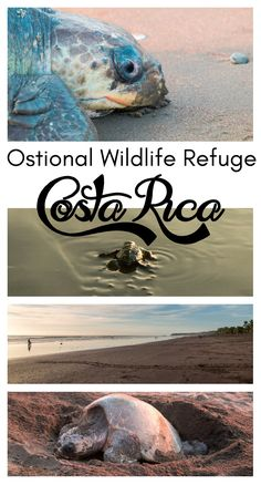 The best place to see turtles in Costa Rica: Ostional Wildlife Refuge. Click through to read more: http://mytanfeet.com/costa-rica-national-park/ostional-wildlife-refuge-protecting-turtles/  Costa Rica   Costa Rica travel blog   Things to do in Costa Rica
