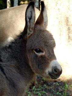 What a cutie Baby Donkey, Cute Donkey, Mini Donkey, Farm Animals, Animals And Pets, Cute Animals, Beautiful Horses, Animals Beautiful, Donkey Rescue