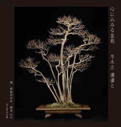 瀟瀟 and maple grove   Winter Bonsai stone water head office Hanyu Taketei rain
