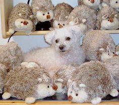 Muki 2007b - Bichon Bolognese / Boloňský psík Bichon Bolognese, Teddy Bear, Animals, Animales, Animaux, Teddy Bears, Animal, Animais