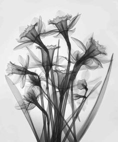 X-ray photograph of daffodils ~ magical