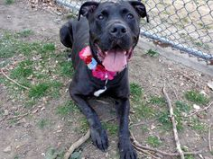 SAFE - 04/18/13 Manhattan Center - P  My name is LADY. My Animal ID # is A0961551. I am a female black labrador retr mix. The shelter thinks I am about 3 YEARS old. Lady is happy, well behaved, well fed, likely housetrained, and thrilled to spend some time in the park. BOTH A STAFF AND VOLUNTEER FAVORITE DON'T LET LADY DIE TOMORROW ADOPT/FOSTER/RESCUE https://www.facebook.com/photo.php?fbid=595429370469946=a.275017085844511.78596.152876678058553=1