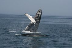 Tell Japan: End illegal Antarctic whaling today!