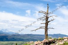 Lone Sentry Tree On Mountain  Nature by EagleEyeOriginals on Etsy, $30.00