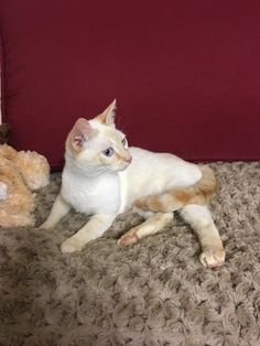 Check out Nalani's profile on AllPaws.com and help her get adopted! Nalani is an adorable Cat that needs a new home. https://www.allpaws.com/adopt-a-cat/siamese/6119096?social_ref=pinterest