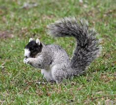 Southern Fox squirrel by Variegated Vibes (Home again- catching up) on Flickr.
