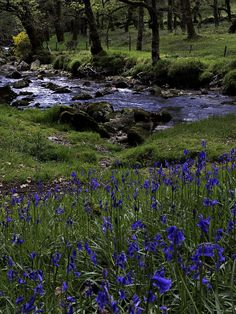 England Travel Inspiration - Bluebells on Dartmoor next to the River Plym just below Cadover Bridge - Devon, England